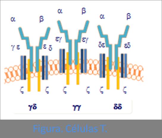 Vista diferentes formas de agrupación de receptores de células T.