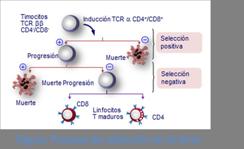 Proceso de selección positiva y negativa en el timo de linfocitos T.