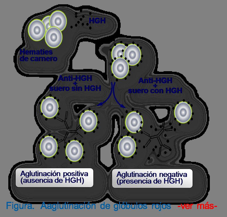 Inhibición y aglutinación de glóbulos rojos por gonadotrofina coriónica (HCG) presente en suero