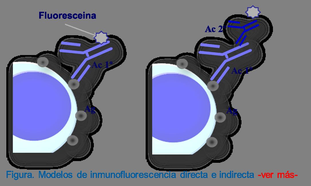 Inmunofluorescencia directa con un anticuerpo primario (izquierda) e indirecta con la utilización de un anticuerpo secundario (derecha).